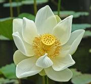 lotus_for_sneakpeak