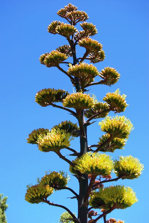 Agave for views.