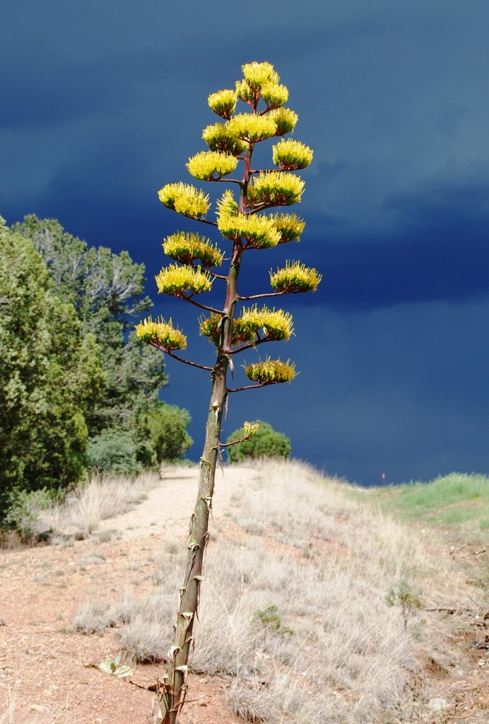agave blooming