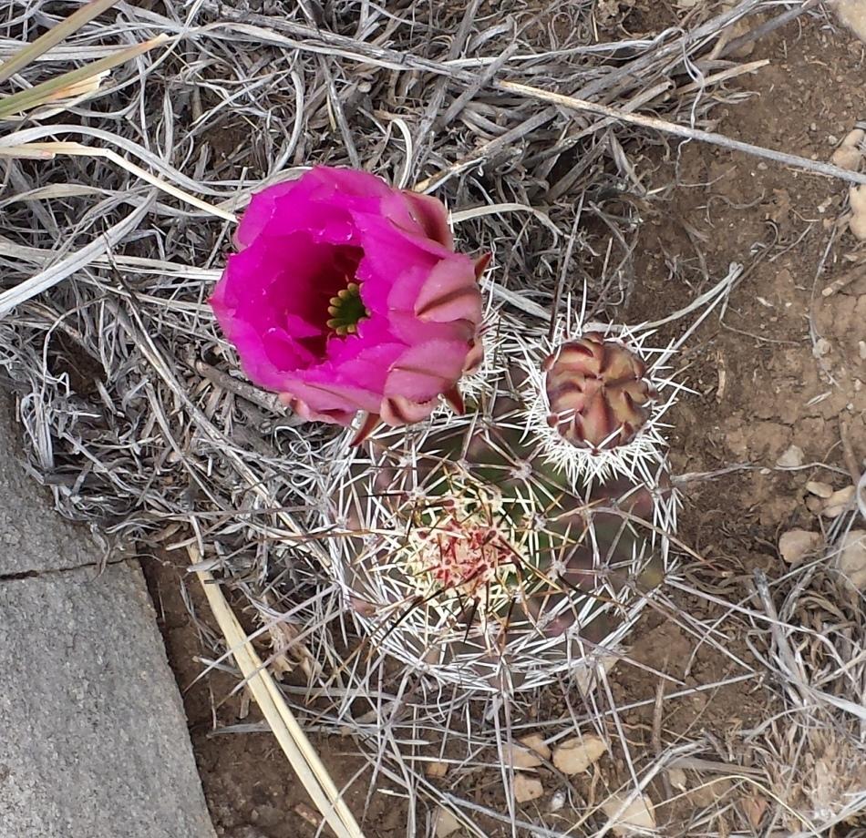 barrel cactus blooming