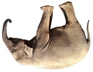 Elephant, feet in air