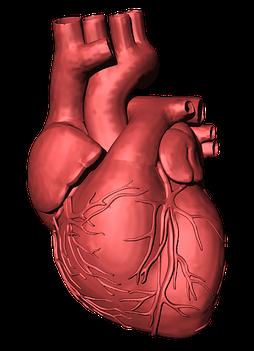 Drawing of human heart